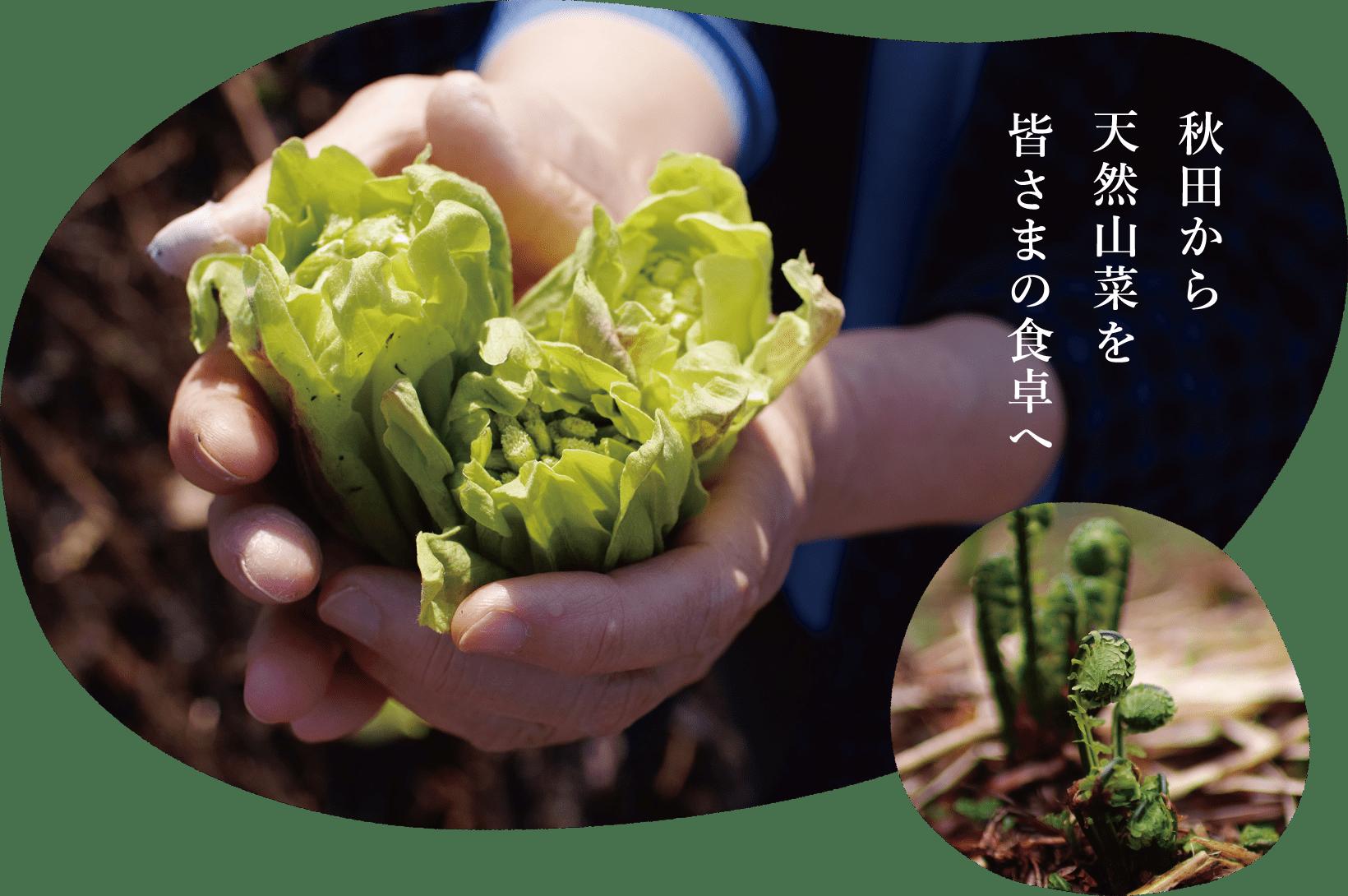 秋田から天然山菜を皆さまの食卓へ